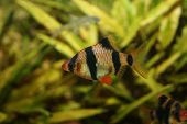 foto of diskus  - Tiger Barb or sumatra barbus in aquarium