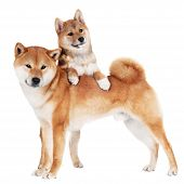 shiba inu dog and puppy