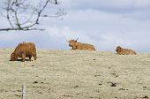 stock photo of highland-cattle  - Highland cattle a scottish breed of cattle with long horns - JPG