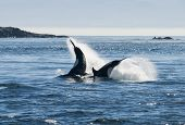 stock photo of cetacea  - Two killer whale swimming in sea, Canada
