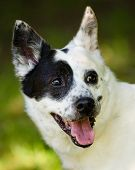 pic of heeler  - Portrait of blue heeler or Australian cattle dog - JPG