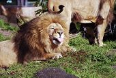 stock photo of sticking out tongue  - A male Lion sticking out his tongue - JPG