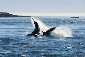 picture of cetacea  - Two killer whale swimming in sea, Canada