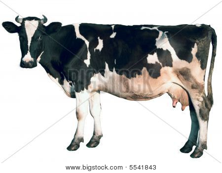 Cow Is Isolated
