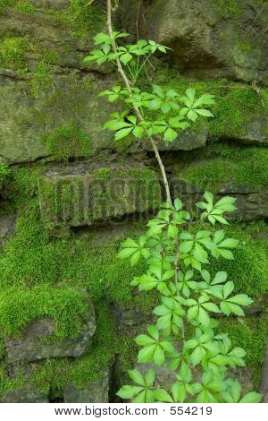 Moss Covered Wall With Vine