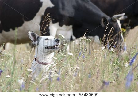 Mixed Breed White Dog & Cows