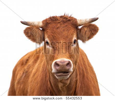 Portrait Of A Cow