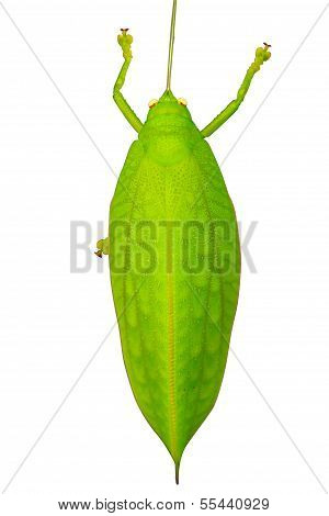 Green Giant Katydid Stilpnochlora Couloniana