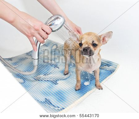 Chihuahua puppy taking shower