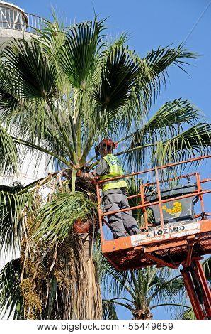 Workman tidying palm tree, Marbella.