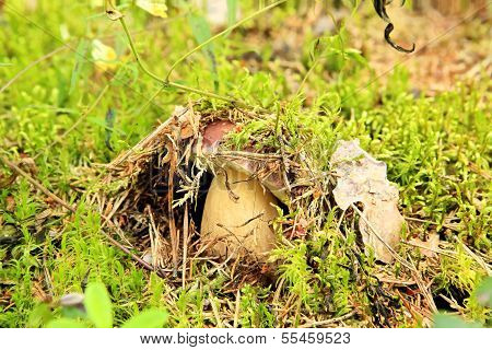 Cep On The Background Of Moss In The Forest (boletus Edulis)