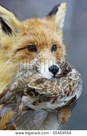 Portrait Of A Fox. Fox Keeps Quail In Its Mouth (vulpes)