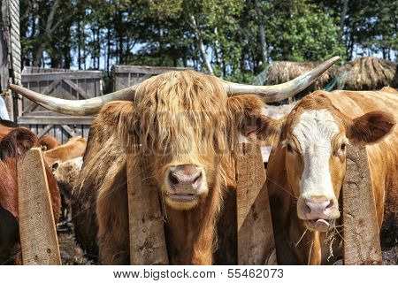 Scottish Highland cattle and some mix breed cattle eating hay in the barnyard.