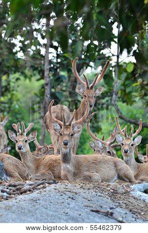 Eld's Deer