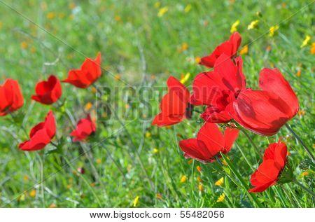Wild Anemone Flowers