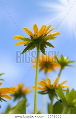 Yellow Daisy Field Under Blue Sky And Sun