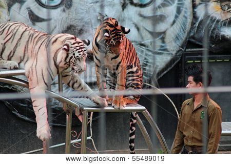 Chiang Mai,North of  Thailand - December 12, 2013 , Tiger Show at Chiang Mai Night Safari
