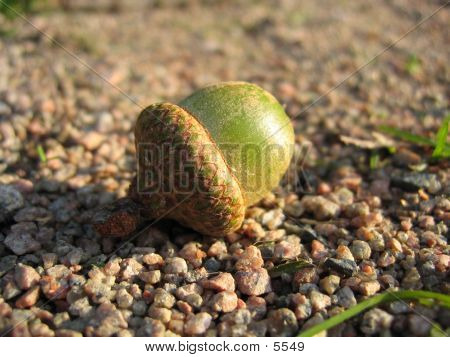 An Unripe Acorn Lying On The Side Of A Footpath.