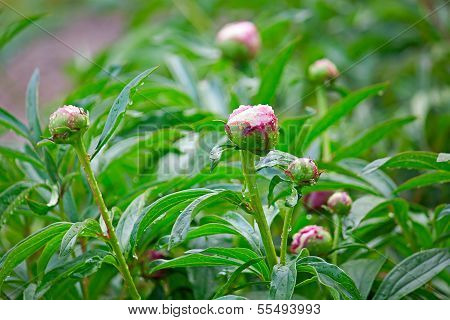Flower Buds Of Peonies