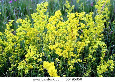 Yellow Flowers Of Galium Verum