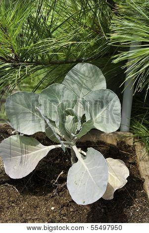 Cabage Plant