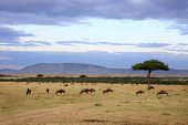 foto of wildebeest  - wildebeest herd in the beautiful plains of the Masai Mara reserve in Kenya Africa - JPG