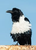 stock photo of fluffing  - A Pied Crow  - JPG