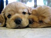 stock photo of cute puppy  - sleeping puppies - JPG