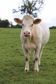 pic of cattle breeding  - Charolais cow grazing on pasture in Burgundy - JPG