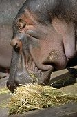 foto of hughes  - this is a close up of a side view of a hippo eating  - JPG
