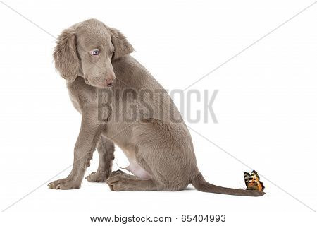 Weimaraner Puppy With Butterfly