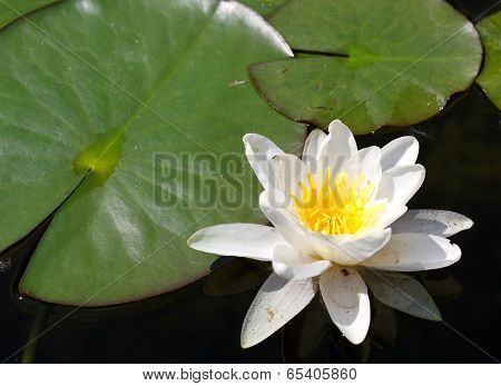 Beautiful White Water Lily Flower With Green Leaves On A Pond