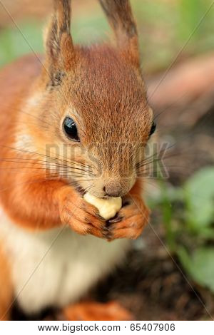 Closeup View Of A  Squirrel