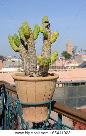 Morocco Cactus