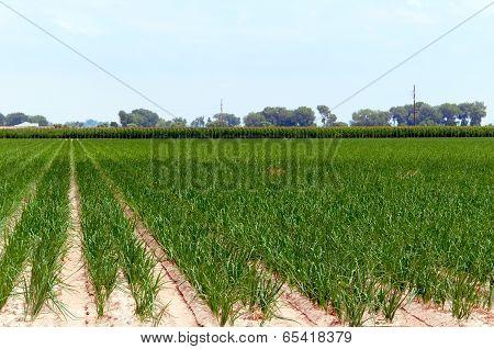 Onion Plants In A Field