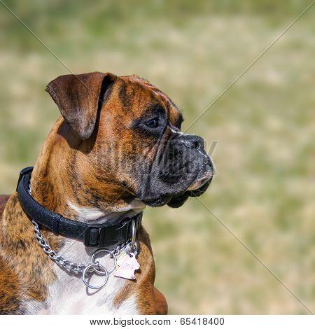 Family Pet, Boxer