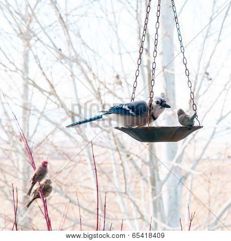 Blue Jay Eating From Bird Feeder