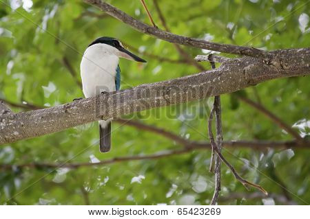Collared Kingfishers (Todiramphus chloris)