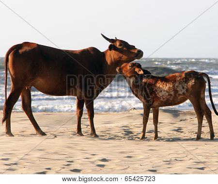 Cow And Calf On The Sandy Beach, India