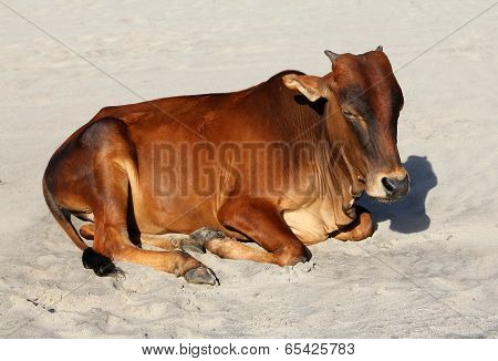 Indian Cow Resting On The Sandy Beach Of Goa