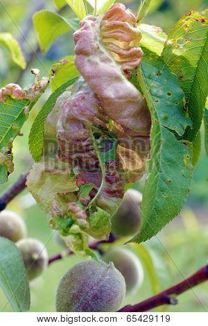 Damaged Leaf Peach.