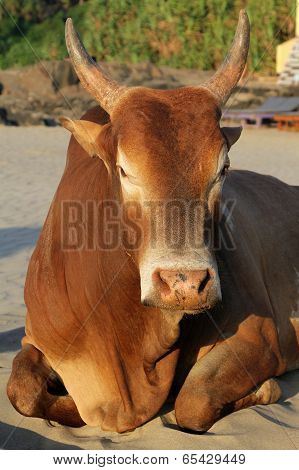 Indian Brown Cow Resting On The Beach, Goa