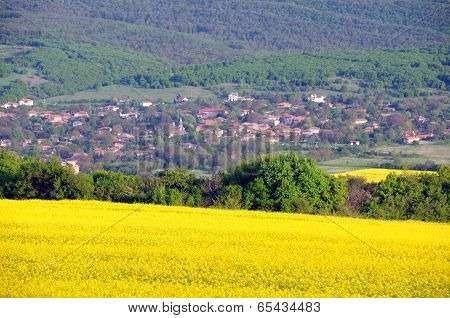 Oilseed Fields And Village