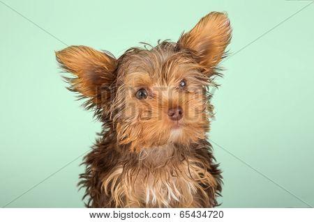 Yorkshire Terrier Puppy Standing In Studio Looking Inquisitive Green Background
