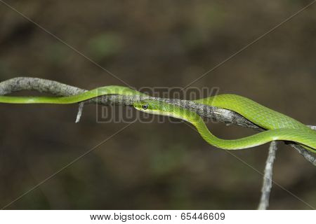 Rough Green Snake slithering on a branch
