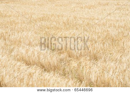 Field Of Barley Ear Is Ripe