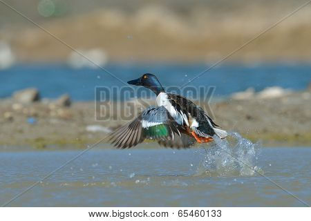 wild duck on the lake (anas clypeata)