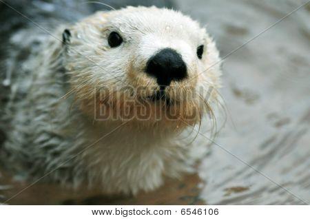 Cute White Otter