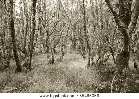 Patagonian Forest In Sepia Tone. Argentina