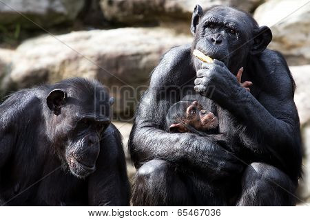 Baby Chimp wants some of its mother's banana